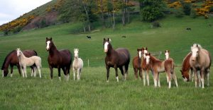 20 may mares & foals 2 red