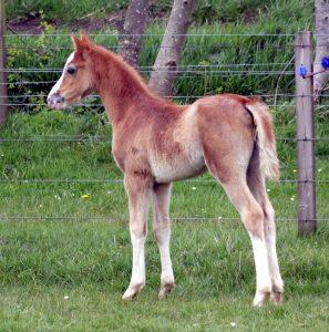 Foals 2015 Waxwing Ponies